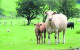 ICSA beef chairperson says 2021 is peak rip-off of beef farmers