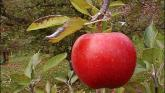 Drive by apple orchard proposed for Leitrim