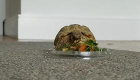 Hilda the  Horsefield tortoise is looking for her forever home