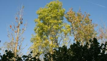 IFA says Minister Hackett has to act on forest owners' issues and review Ash Dieback Scheme