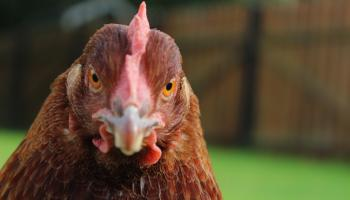 16,000 chickens killed in fire at Belcoo, Co Fermanagh