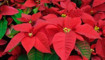 Last last minute gifts: Christmas plants
