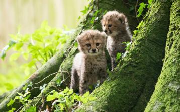 FotaWildlife Park has announced the birth of three Northern cheetah cubs