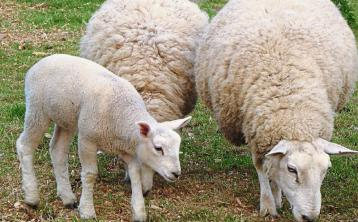 Lamb trade remains buoyant