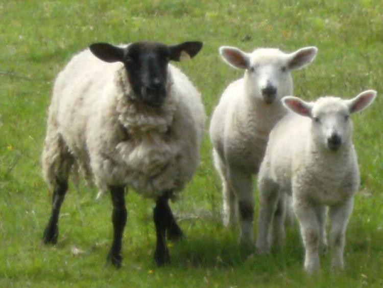 Lamb Market Remains Buoyant Says Ifa Leitrim Observer